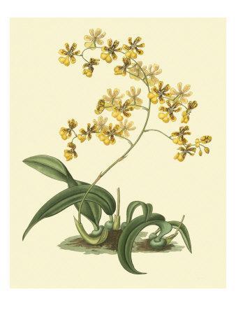 https://imgc.artprintimages.com/img/print/antique-orchid-study-i_u-l-p8lm0x0.jpg?p=0