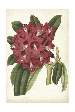 https://imgc.artprintimages.com/img/print/antique-rhododendron-ii_u-l-pwa21y0.jpg?p=0