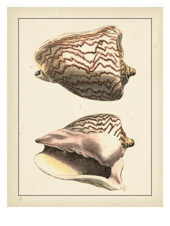 https://imgc.artprintimages.com/img/print/antique-shells-vi_u-l-p8lgjk0.jpg?p=0
