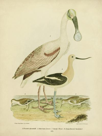 Antique Spoonbill and Sandpipers-Alexander Wilson-Art Print