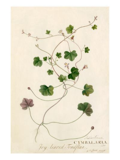 Antirrhinum, Cymbalaria-Georg Dionysius Ehret-Giclee Print