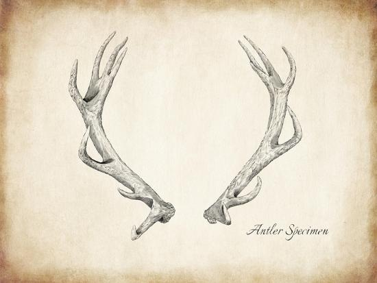 Antler Specimen A-THE Studio-Premium Giclee Print