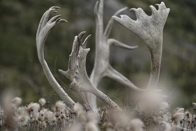 Antlers of a Male Woodland Caribou in a Field of Dryas-Peter Mather-Photographic Print