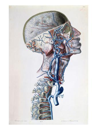 Veins and Arteries in the Head