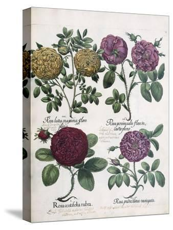 Four Types of Roses, 1613