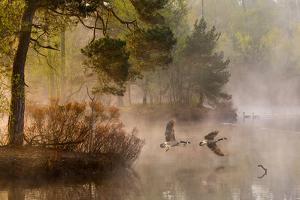 Goose Fight by Anton Van Dongen