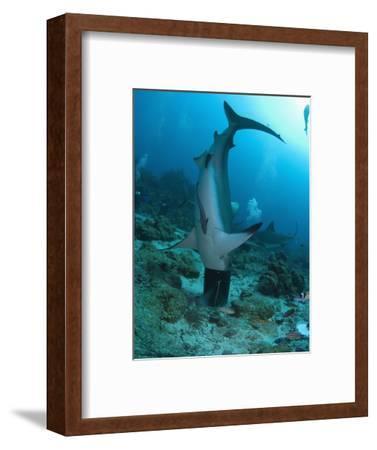 Caribbean Reef Shark (Carcharhinus Perezii) Stuck in a Bucket, Roatan, Bay Islands, Honduras
