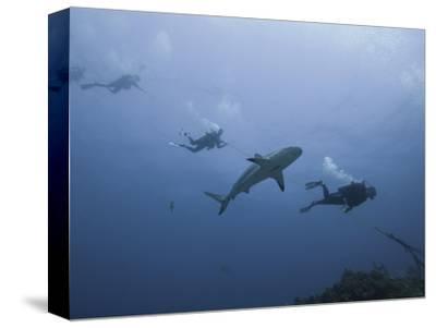 Caribbean Reef Shark (Carcharhinus Perezii) Swimming with Divers, Roatan, Bay Islands, Honduras