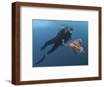 Diver Spearfishing Lionfish (Pterois Volitans), Roatan, Bay Islands, Honduras, Caribbean