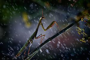 Mantis in the Rain by Antonio Grambone