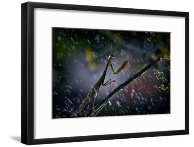 Mantis in the Rain