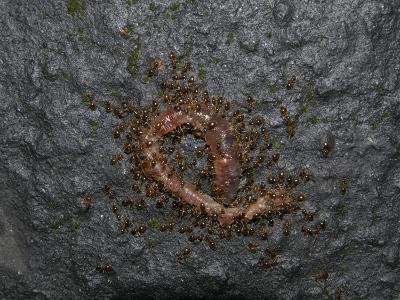 Ants Eating a Dead Earthworm-Robert & Jean Pollock-Photographic Print