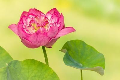 Full Bloom of a Perfect Japanese Lotus Nelumbo Elite Red Flower and Leaf