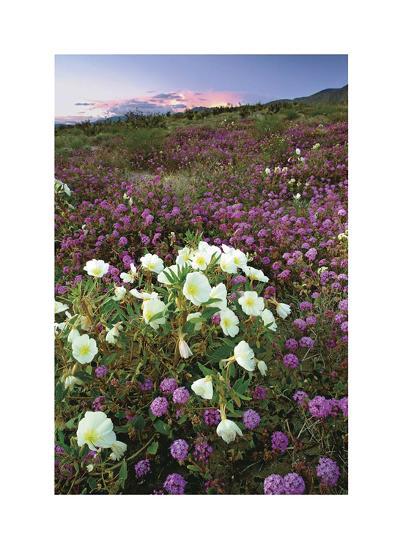 Anza Flower Meadow II-Donald Paulson-Giclee Print