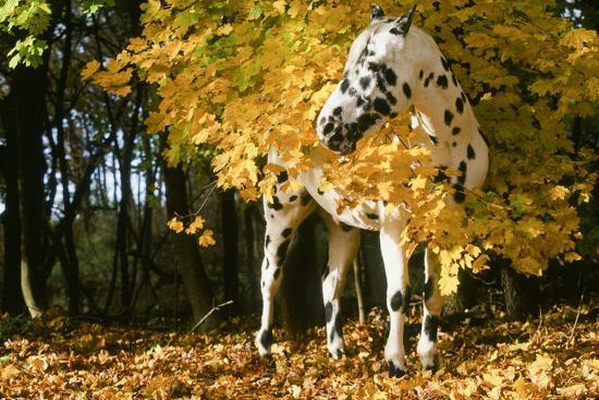 Apaloosa Horse--Photographic Print