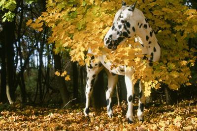Apaloosa Horse