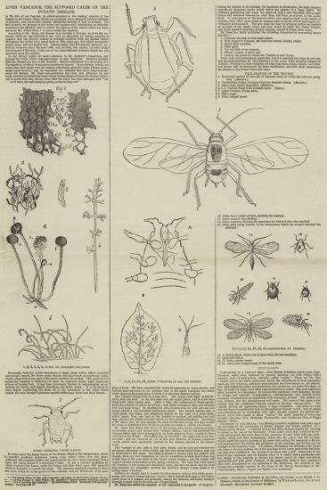Aphis Vastator, the Supposed Cause of the Potato Disease--Giclee Print