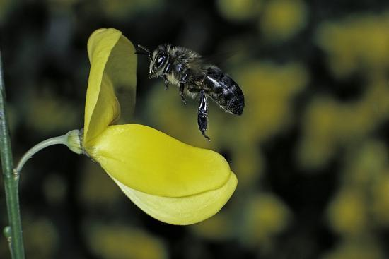 Apis Mellifera (Honey Bee) - Foraging and Approaching a Broom Flower-Paul Starosta-Photographic Print