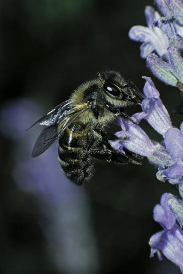 Apis Mellifera (Honey Bee) - Foraging on a Lavender Flower-Paul Starosta-Photographic Print