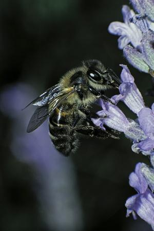 https://imgc.artprintimages.com/img/print/apis-mellifera-honey-bee-foraging-on-a-lavender-flower_u-l-pzqyin0.jpg?p=0