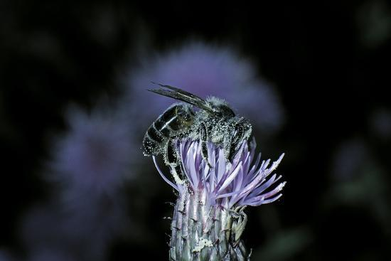 Apis Mellifera (Honey Bee) - Foraging on a Thistle Flower-Paul Starosta-Photographic Print