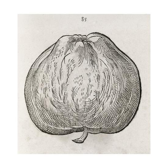 Apple, 16th Century-Middle Temple Library-Giclee Print