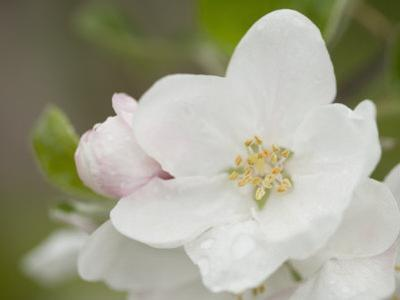 Apple Blossom in the Spring