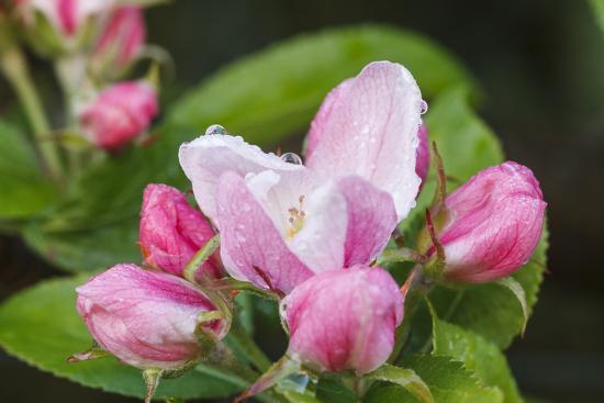 Apple blossom, Malus domesticus, close-up-Waldemar Langolf-Photographic Print
