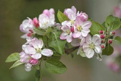 Apple Blossom (Malus X Domestica)-Dr. Keith Wheeler-Photographic Print