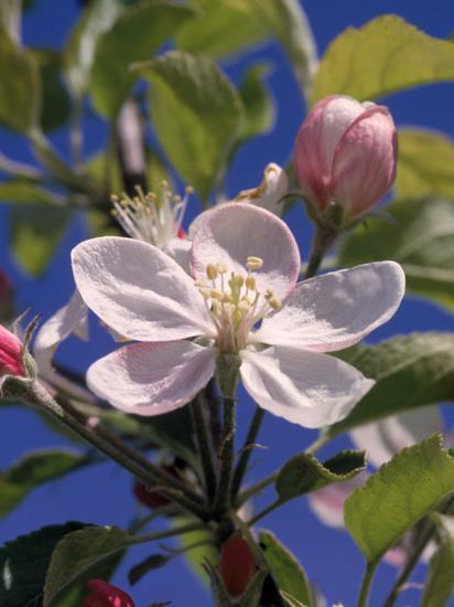 Apple Blossom-John Luke-Photographic Print
