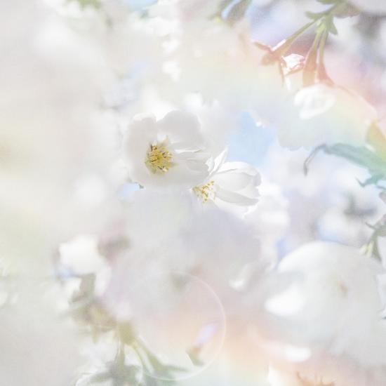 Apple Blossoms 03-LightBoxJournal-Giclee Print
