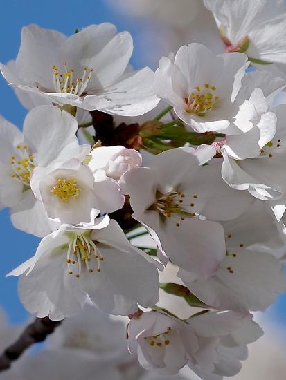 Apple Blossoms IV-Monika Burkhart-Photographic Print