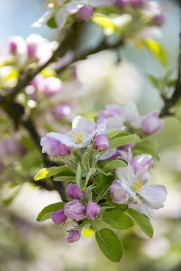 Apple Blossoms-C. Nidhoff-Lang-Photographic Print