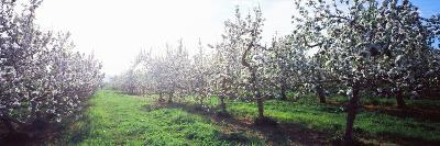 Apple Orchard, Hudson Valley, New York State, USA--Photographic Print