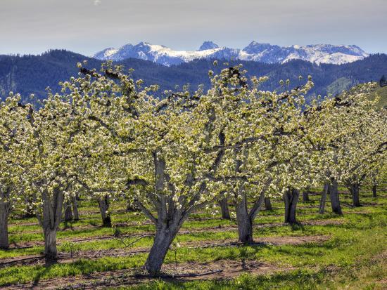 Apple Orchard in Bloom, Dryden, Chelan County, Washington, Usa-Jamie & Judy Wild-Photographic Print