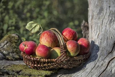 Apples, Basket, Exterior, Old Tree Trunk-Andrea Haase-Photographic Print