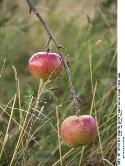 Apples, Two, Branch, Meadow-Andrea Haase-Photographic Print