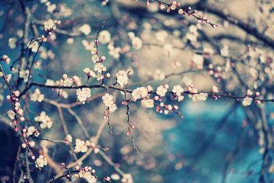 Apricot Tree Flower-Roxana_ro-Photographic Print