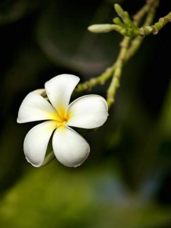 Frangipani Flower Detail