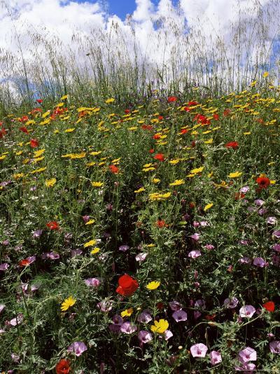 April Spring Flowers, Near Aidone, Central Area, Island of Sicily, Italy, Mediterranean-Richard Ashworth-Photographic Print