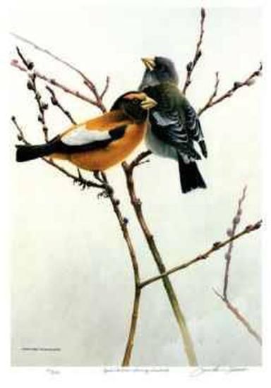 April Willow - Evening Grosbeak-Michael Dumas-Collectable Print