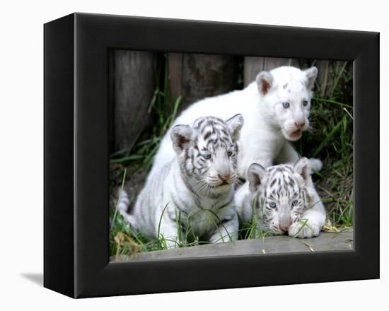 APTOPIX Argentina White Tigers-Eduardo Di Baia-Framed Premier Image Canvas