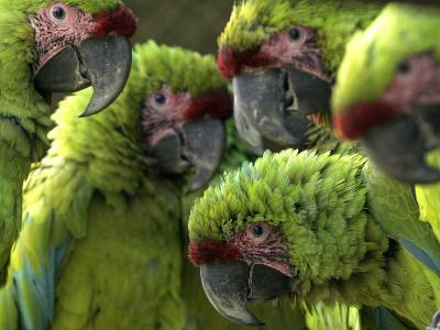 APTOPIX Costa Rica Endangered Macaws-Kent Gilbert-Photographic Print