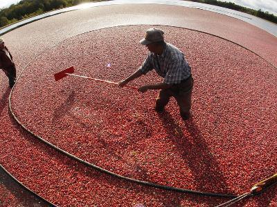 APTOPIX Cranberry Harvest-Charles Krupa-Photographic Print