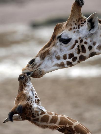 APTOPIX DEU Tiere Giraffenbaby-Kai-uwe Knoth-Photographic Print