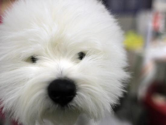 APTOPIX Westminster Dog Show-Mary Altaffer-Photographic Print