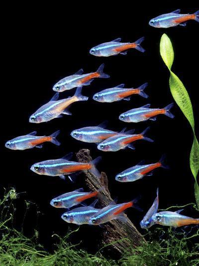 Aquarium Fish Neon Tetra Photographic Print By Art Com