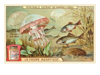 Aquatic Fauna, Jellyfish--Art Print