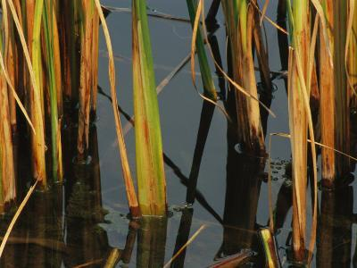 Aquatic Grass Emerges from a Pond at the Chicago Botanic Garden-Paul Damien-Photographic Print