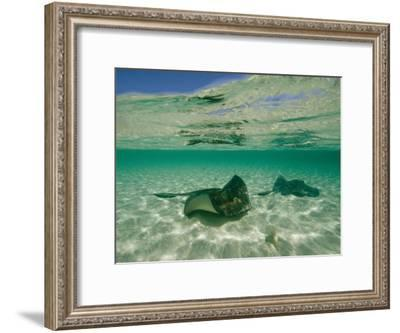Aquatic Split-Level View of Two Southern Stingrays in Clear Water-Wolcott Henry-Framed Photographic Print